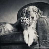 Fotoshooting mit Australien Shepherd Ben